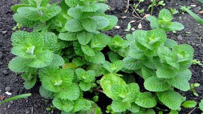 mint-plant-3-new