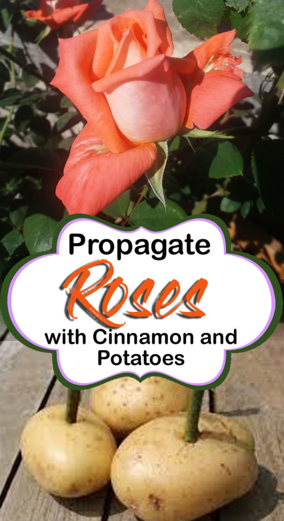 Propagate Roses With Cinnamon And Potatoes Naturebring