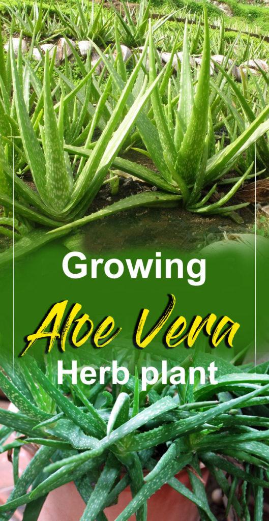 Aloe Vera | how to grow aloe vera