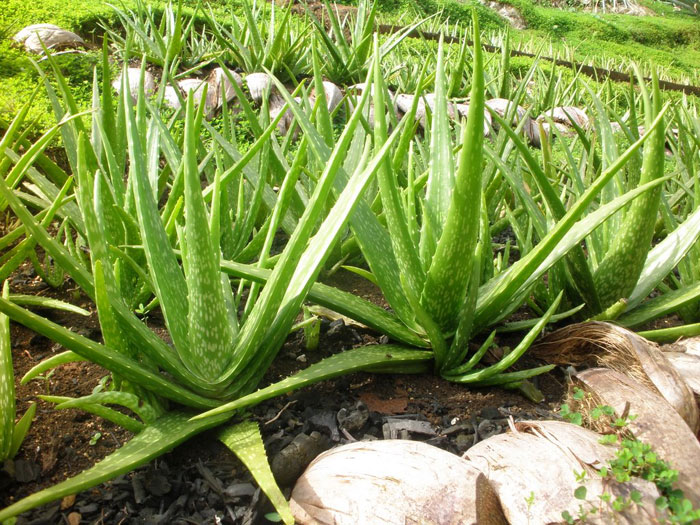 How to grow Aloe Vera | Growing Aloe Vera plant in pots | Aloe Vera plants