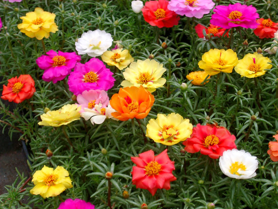 How to Grow Portulaca grandiflora | Moss rose plants propagation and care