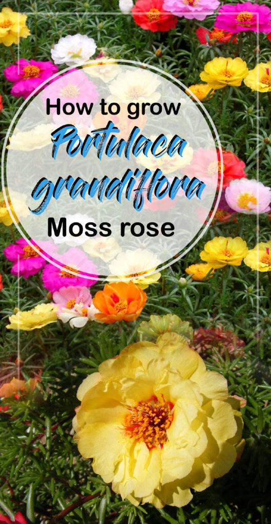 Portulaca grandiflora | Mexican rose | Moss rose plants