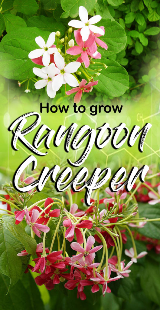 Rangoon Creeper | Growing Madhumalti | Quisqualis indica