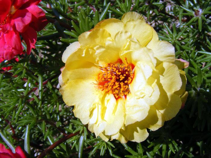 Portulaca grandiflora| Mexican rose | Moss rose plants