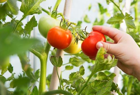 tomatto newww