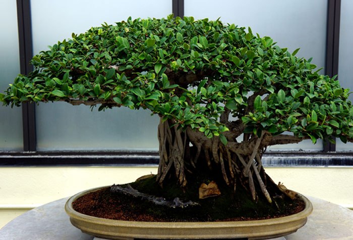 Growing and caring Bonsai | Bonsai plant | Indoor Bonsai plant care