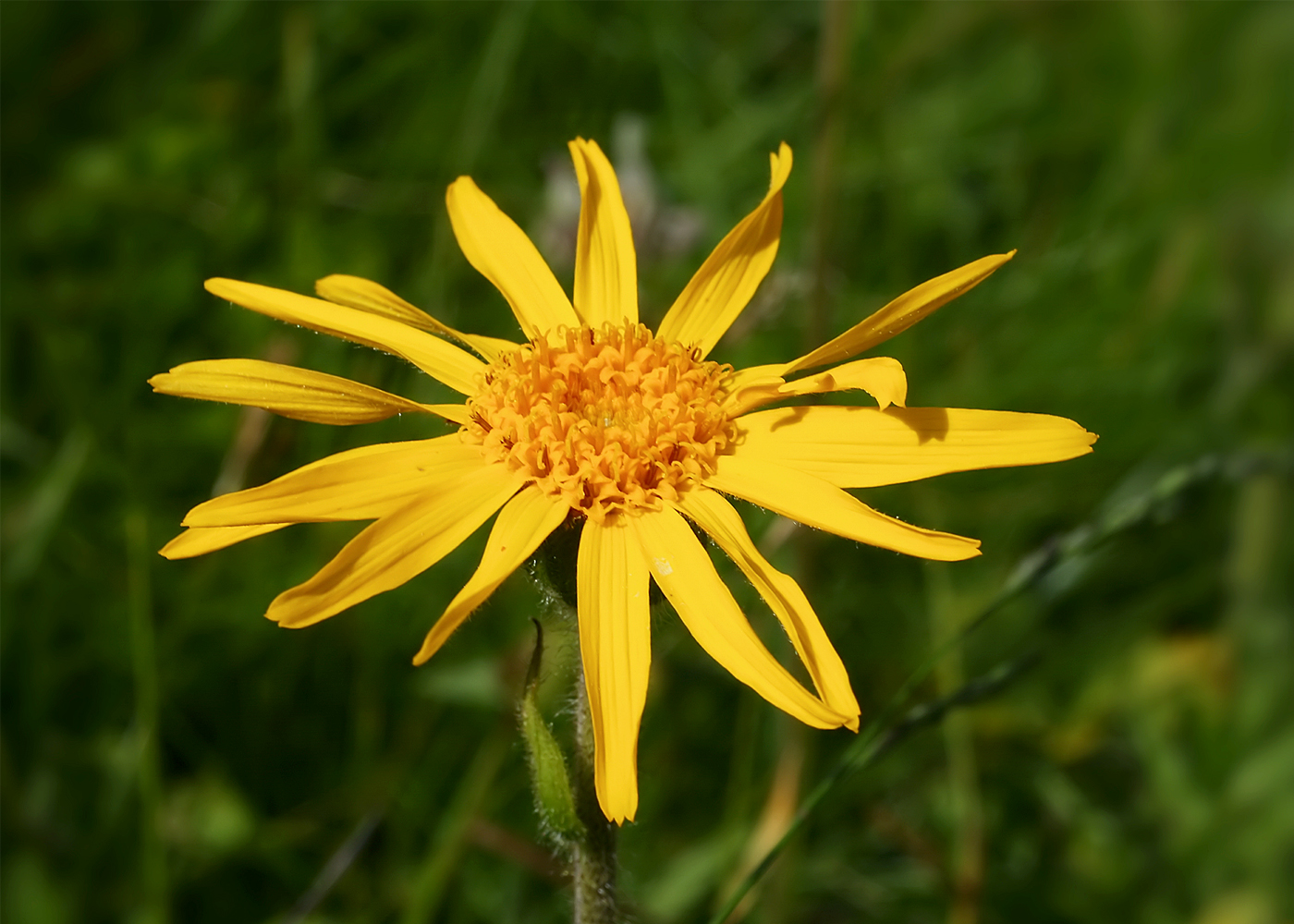 Arnica Montana Herb Plant | Nature Bring