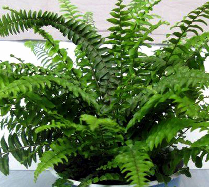 Boston Fern in pot