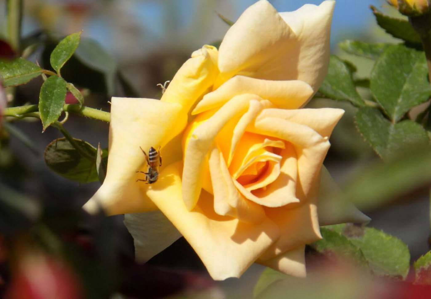 Rose gardening | How to grow healthy Roses 10 easy tips