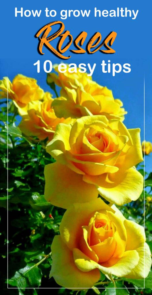 rose gardening | rose secrets