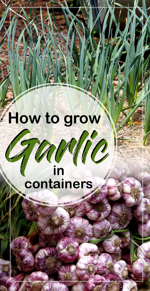 Garlic | Growing Garlic plant