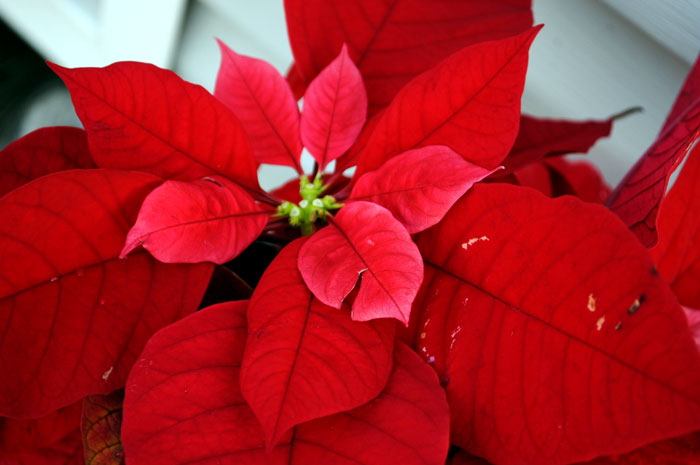 How to grow Poinsettia plant | poinsettia care | Growing Poinsettia