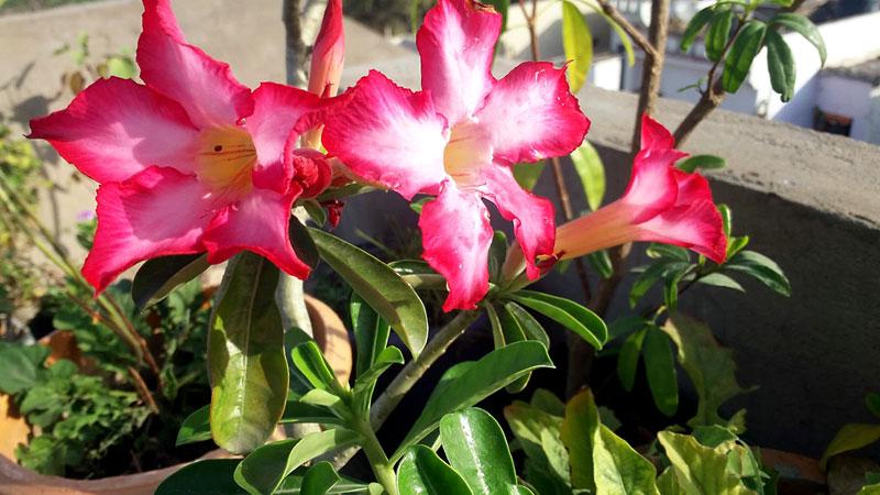 Adenium plant | Desert Rose plants