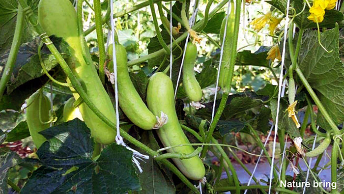 Growing Cucumber | How to grow cucumbers in a pot