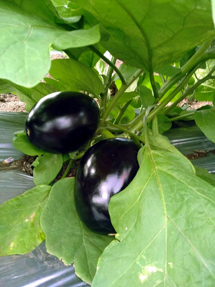 Growing Eggplant | Eggplant in a pot | Aubergine | Brinjal