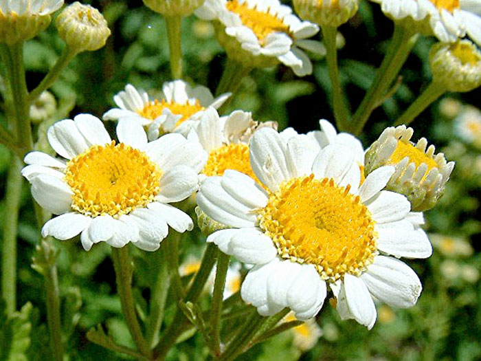 How to grow and care Feverfew herb | Side Effects of Feverfew