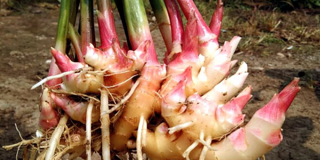 How to grow Ginger | Ginger root