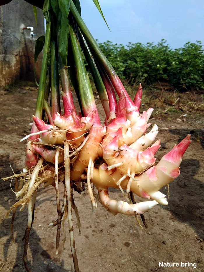 How to grow Ginger in a pot | Growing ginger root | Harvest Ginger root