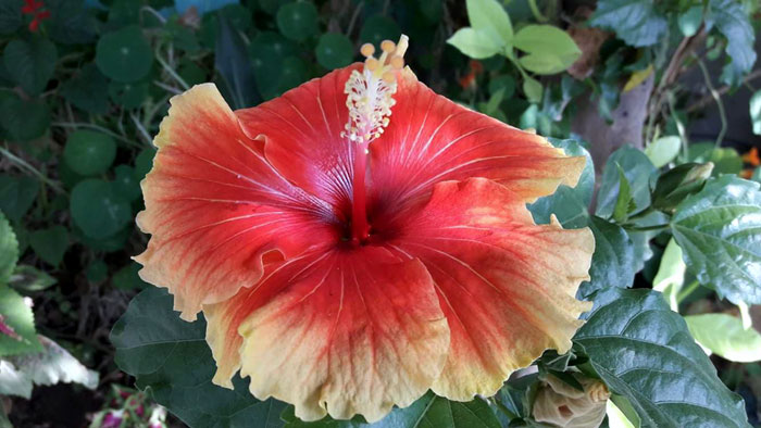 Growing Hibiscus Flower How To Grow Tropical Hibiscus Hibiscus