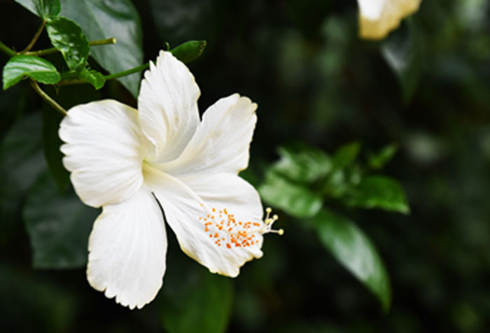 Growing Hibiscus flower | Hibiscus plant