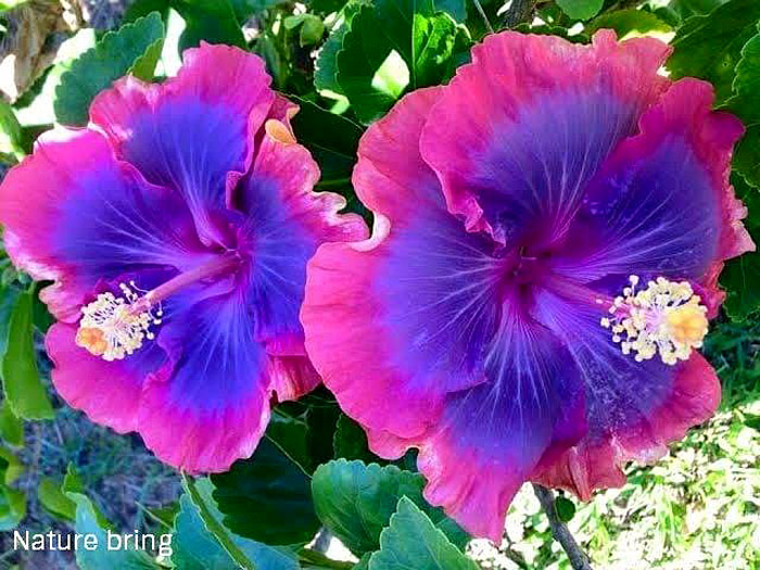 Growing Hibiscus flower | Hibiscus plant | Gudhal