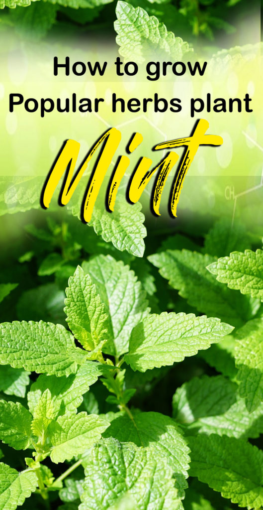 Growing Mint herb plant | Peppermint | how to grow mint in pots