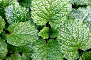 Growing Mint herb plant | Peppermint