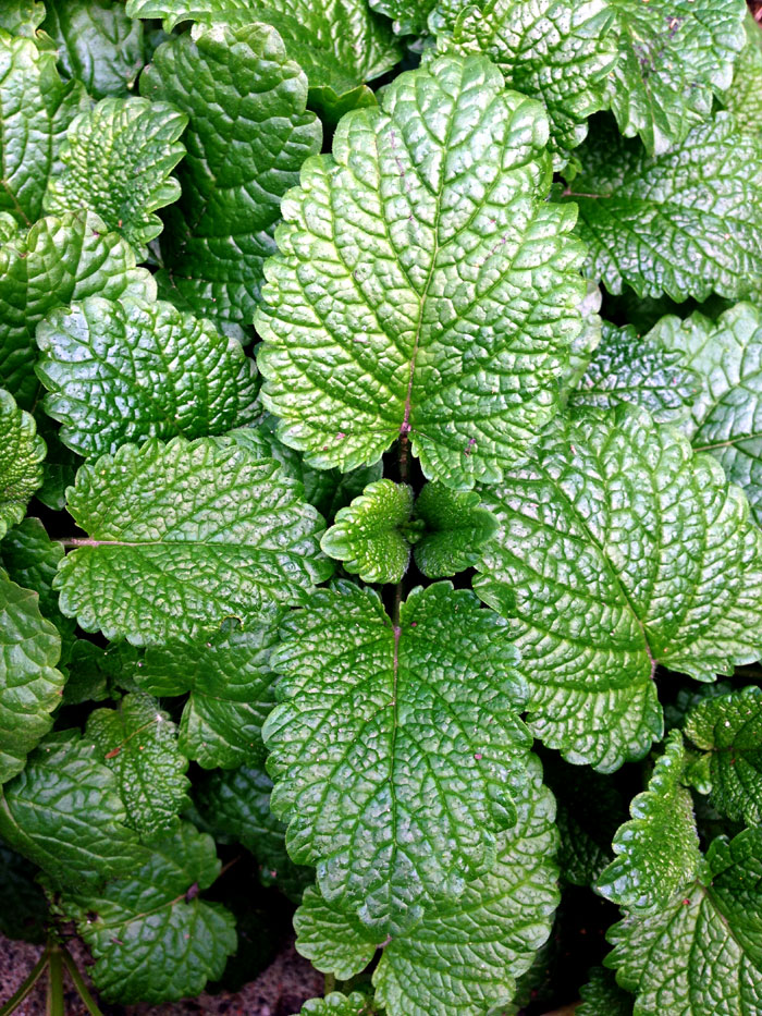 How to grow Mint in pots | Growing Mint herb plant | Peppermint Care