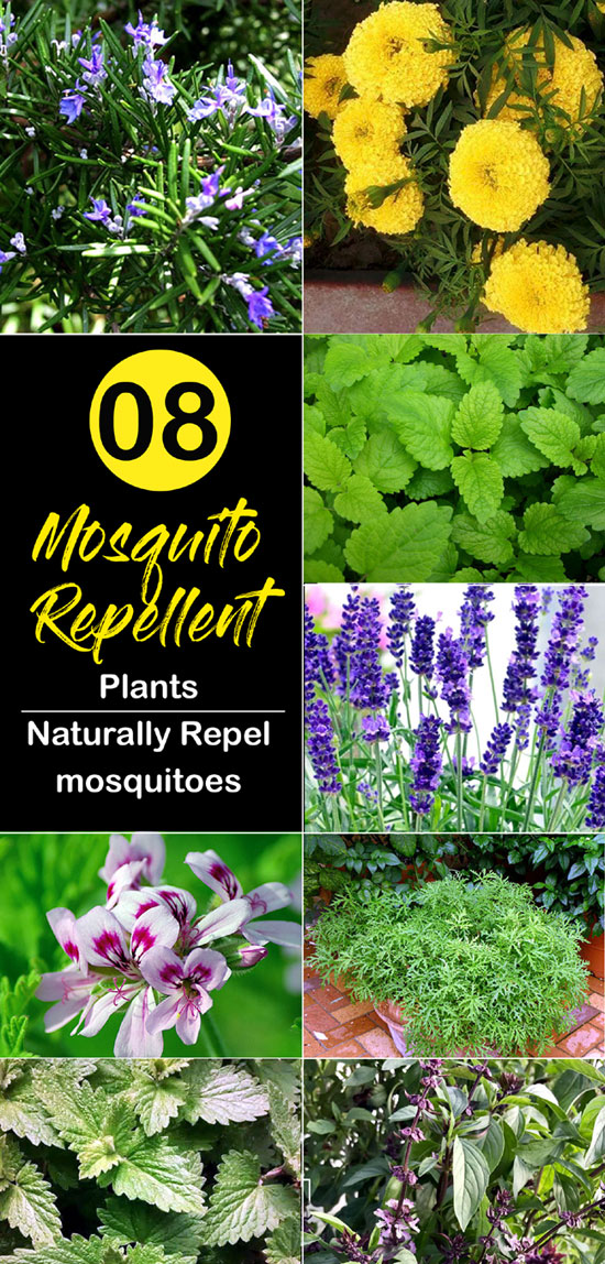 Mosquito Repellent plants | Natural ways to keep mosquitoes away
