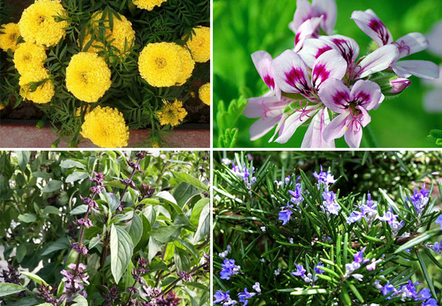 8 best mosquito repellent plants | Repel mosquitoes naturally