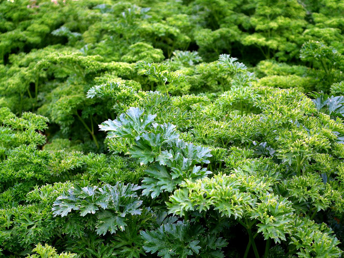 How to Grow Parsley | Growing Parsley in pots | Nature Bring