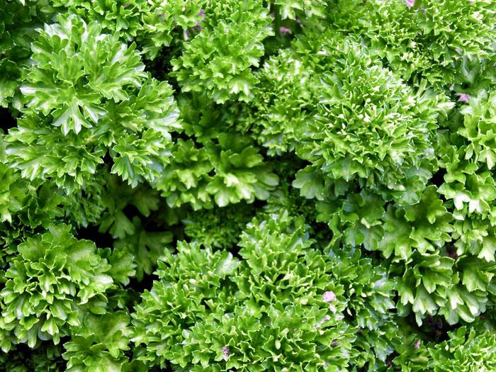 Growing Italian parsley by seeds | Petroselinum crispum