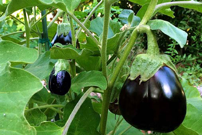 Growing Eggplant | How to grow Eggplant in a pot | Aubergine | Brinjal