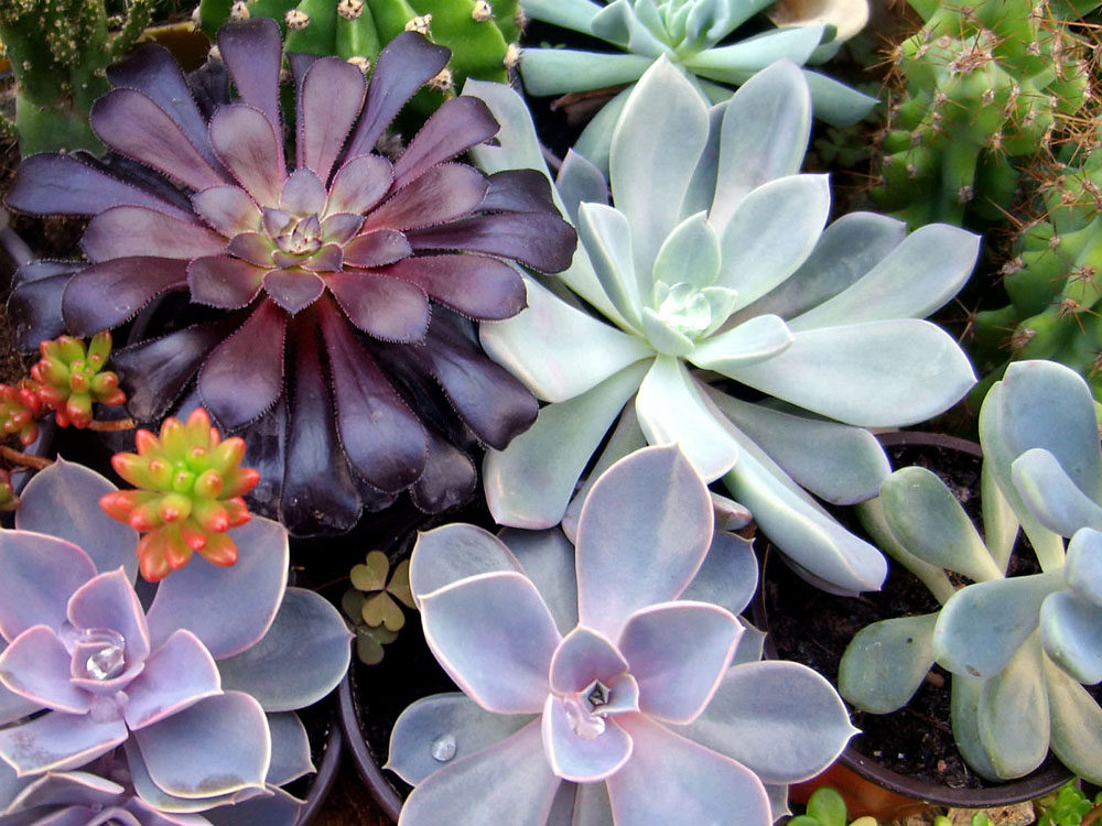 Growing Succulent indoor | How to grow Succulent in a container