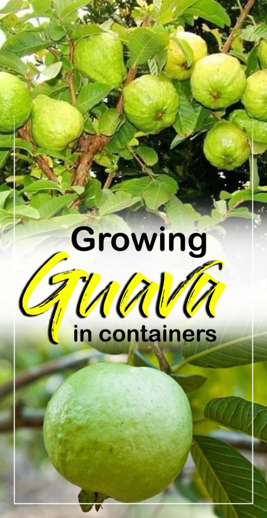 How to grow Guava tree in a container | Growing guava plant