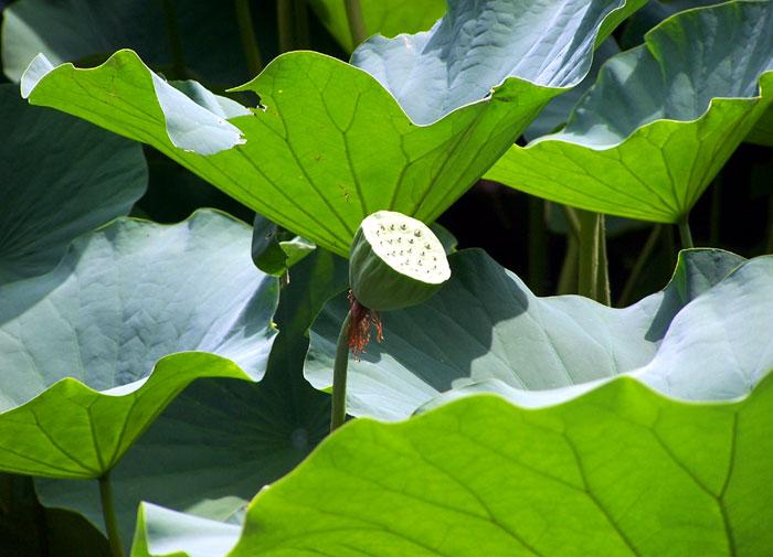 Lotus plant | lotus flowers