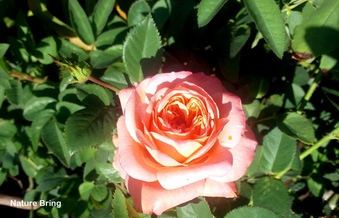 How to fertilize your roses | Rose fertilizer | Organic fertilizer