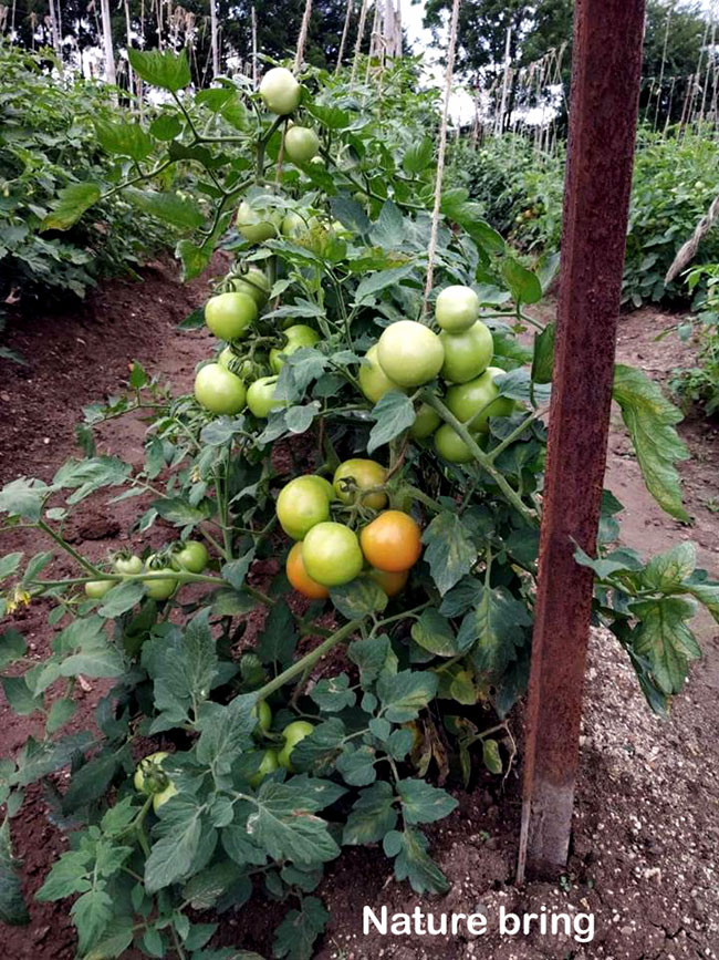 How to Grow Tomatoes | Growing Tomatoes in pots | Tomato plant