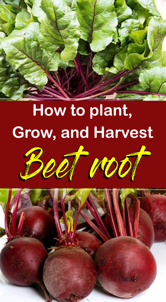 Beets | growing beets
