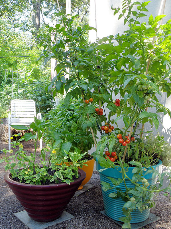 Tomato plant in containers