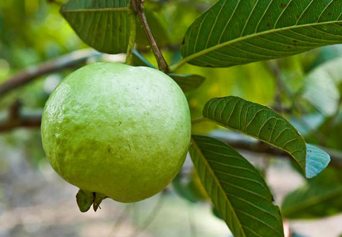 How to grow Guava tree in a container   Growing guava plant   tropical fruit