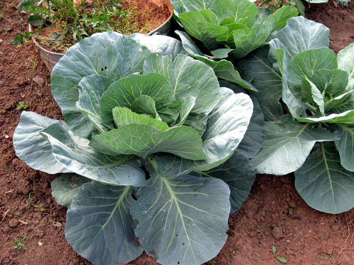 grow cabbage containers growing cabbage naturebring