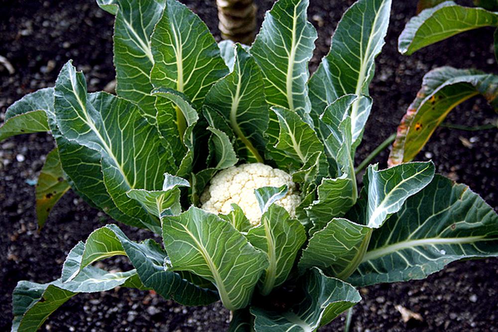 cauliflower-plant