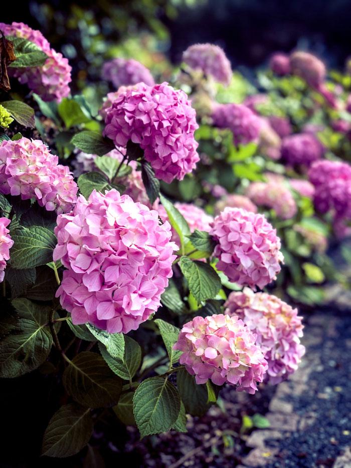 Hydrangea | hydrangea in pots