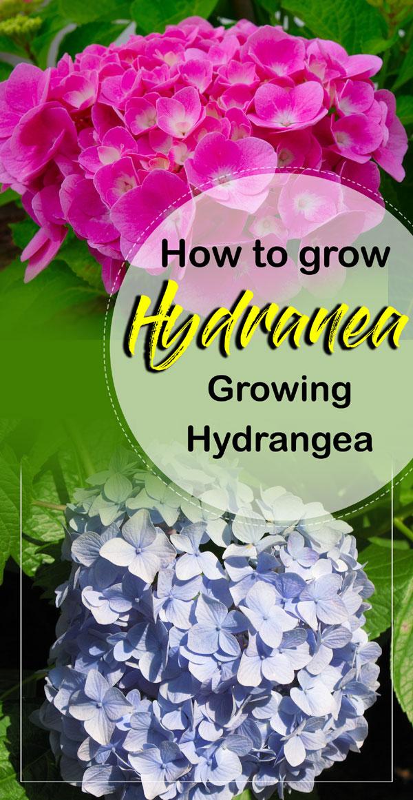 Hydrangea | hydrangea macrophylla | hydrangea in pots