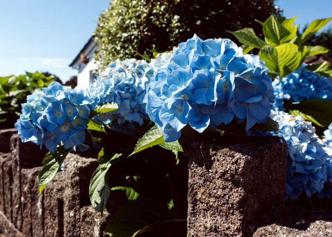 Hydrangeas | How to grow Hydrangea | Hydrangea in pots