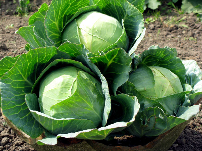 How to Grow Cabbage in containers | Growing  Cabbage
