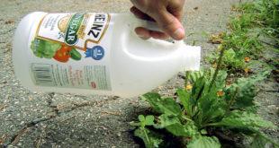 Vinegar | Natural herbicide