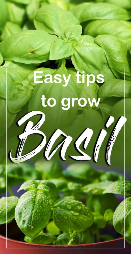 how to grow basil plant | Growing basil