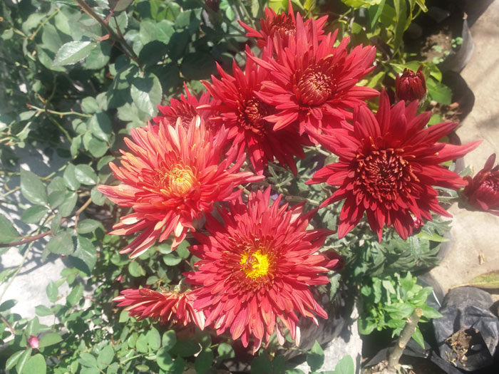 How to grow Chrysanthemums in pots | Growing Chrysanthemums and care